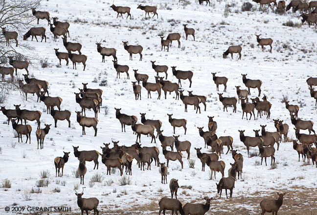 Just a few of a very large herd (approx 500 head) of Elk at Bobcat Pass near Red River, NM
