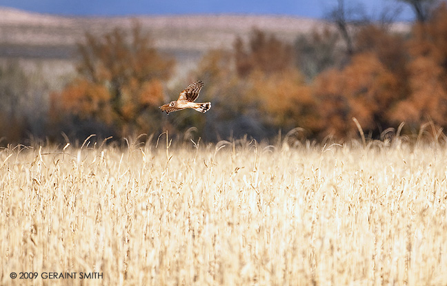 Northern Harrier doing what it does best