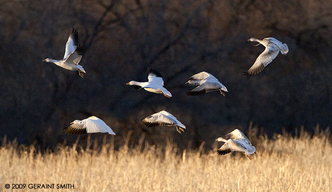 With the snow geese in the Bosque del Apache NWR