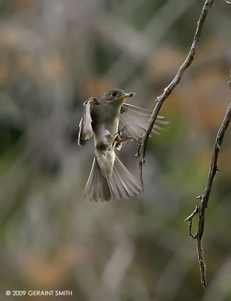 Flycatcher at the river