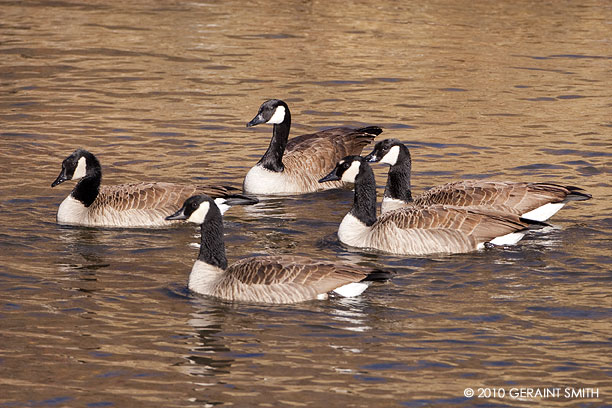 Canadian Geese on the Rio Grande