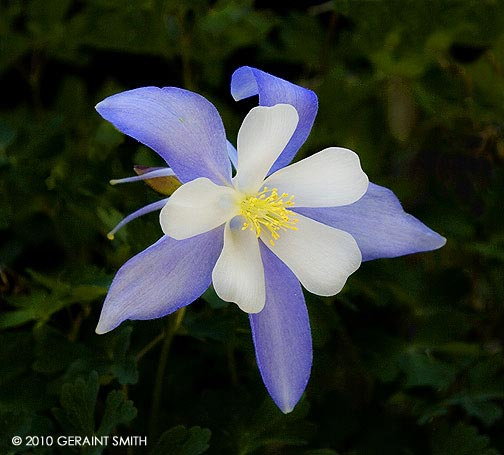 Columbine on the trail