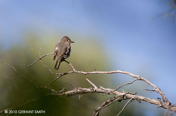 Flycatcher on the Rio Chama