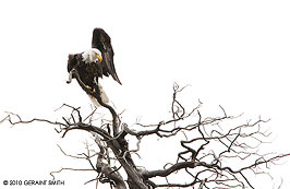bald eagle in a bare tree, new mexico