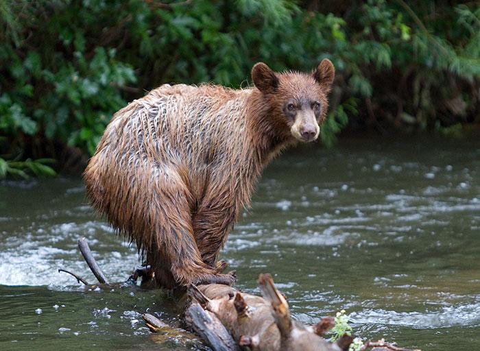 Cimarron Bear