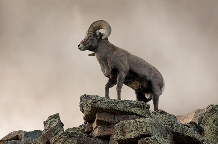 Big Horn Sheep Ram #1