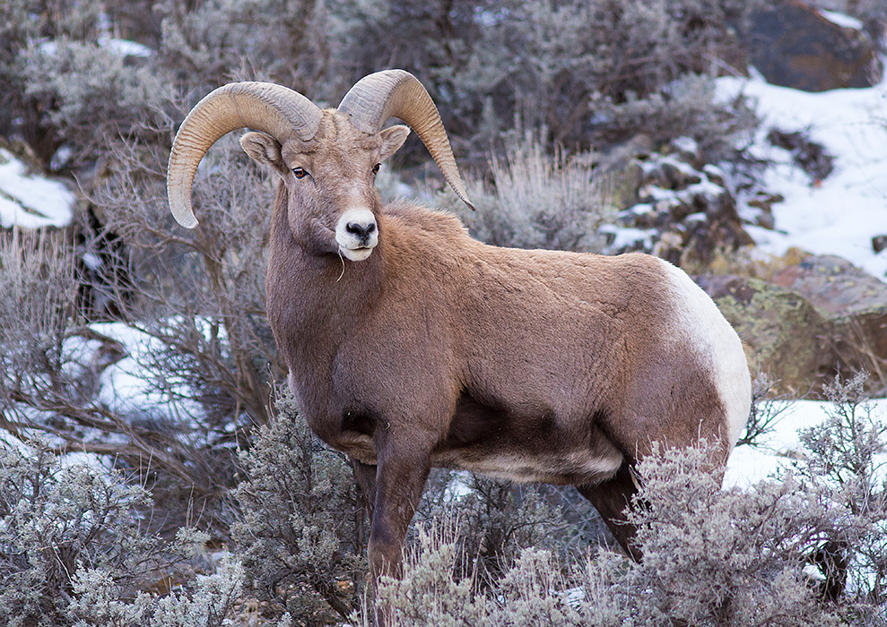 Big Horn Sheep Ram #4