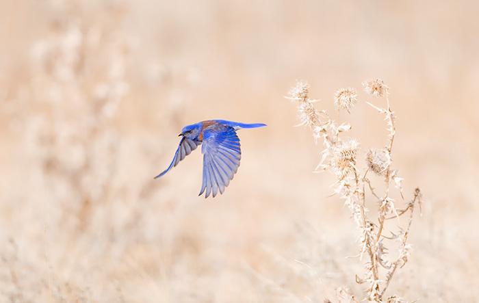 Blue Bird #1