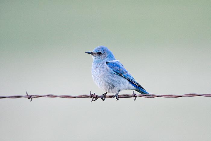 Blue Bird #2