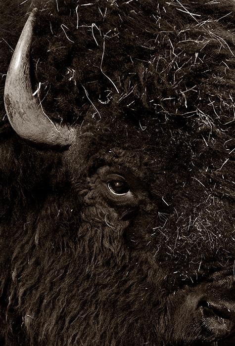 Buffalo Eye