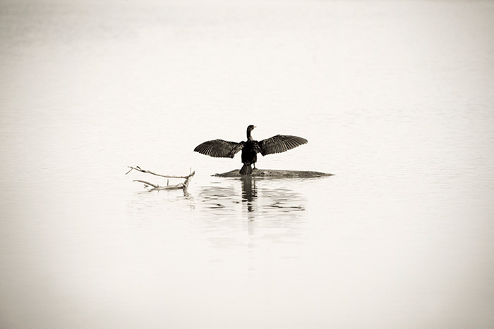 Cormorant Morning