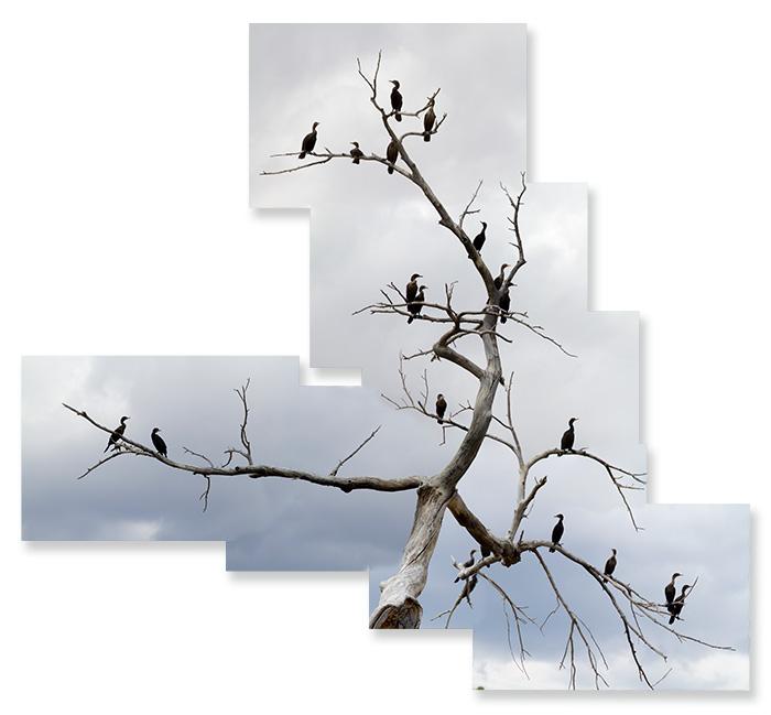 Cormorant Roost #2