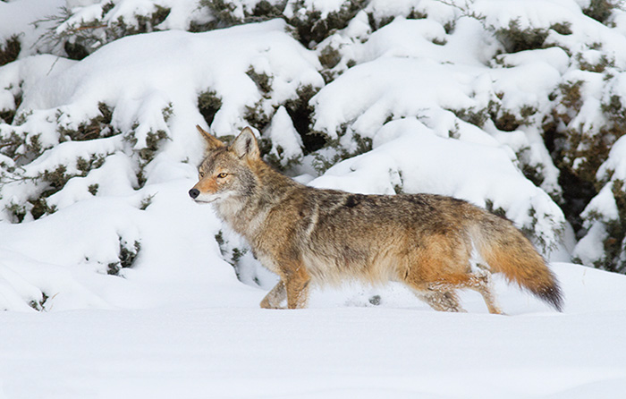 Winter Coyote #2