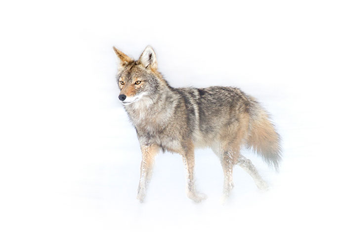 Winter Coyote #1