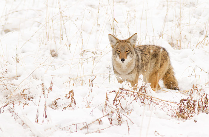 Winter Coyote #3