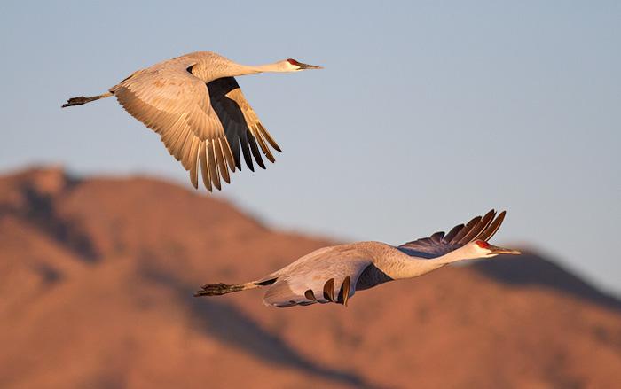 Sandhill Cranes #2