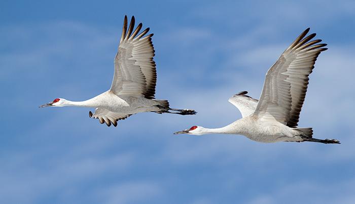Sandhill Cranes #1