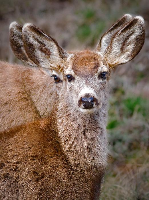 Deer Peekaboo