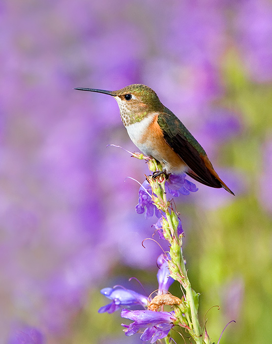 Summer Hummingbird