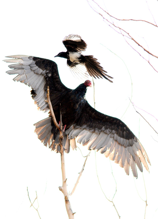 Magpie and Vulture