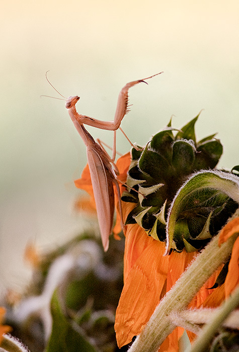 Praying Mantis Conducts