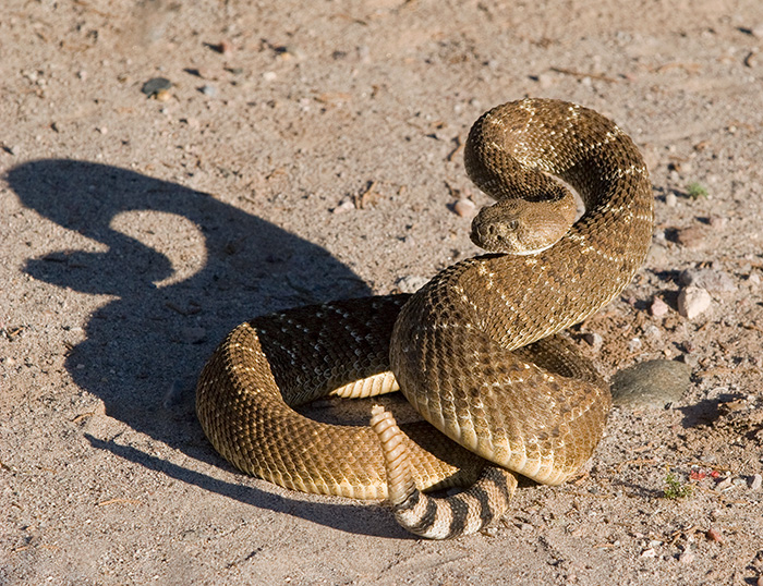 Grandfather Rattle Snake