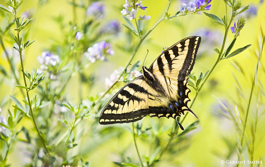 Solstice Swallowtail