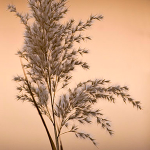 Archive index 2008 photo of the day archive pampas grass bosque del apache, Socorro NM