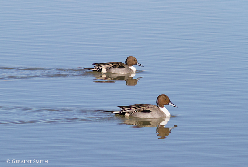 Northern Pintail Ducks in the Bosque del Apache NWR, Socorro, New Mexico