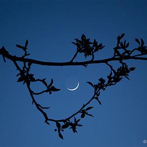 Crescent moon through blossoms.