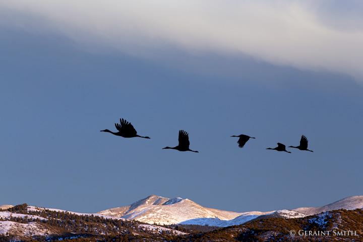 sandhill cranes flying north