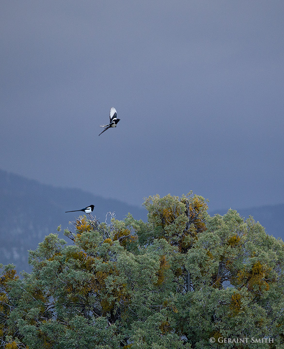 magpies in the morning juniper tree, san cristobal, new mexico