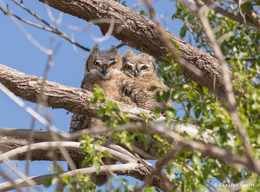 Great Horned Owl fledgelings