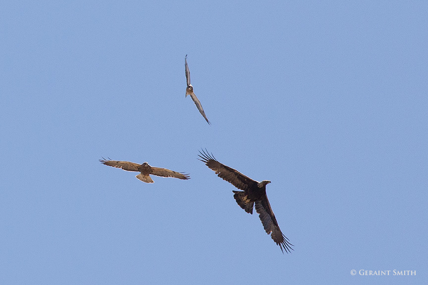 Swainson's Hawks and golden eagle
