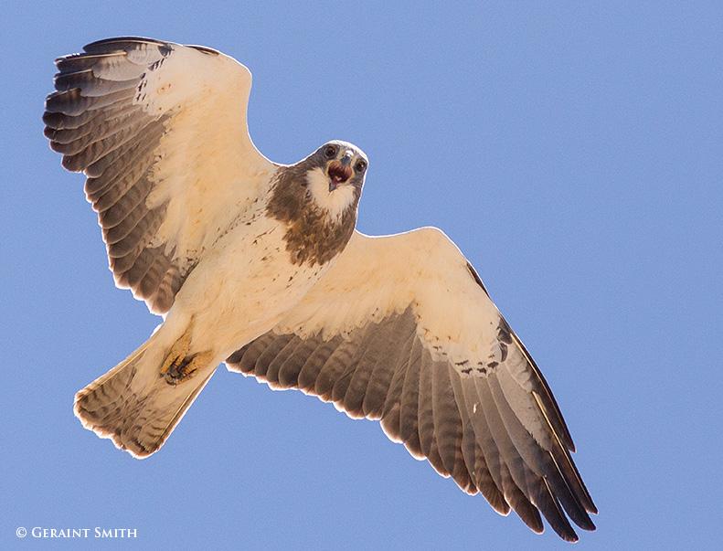 Swainson's Hawk Colorado