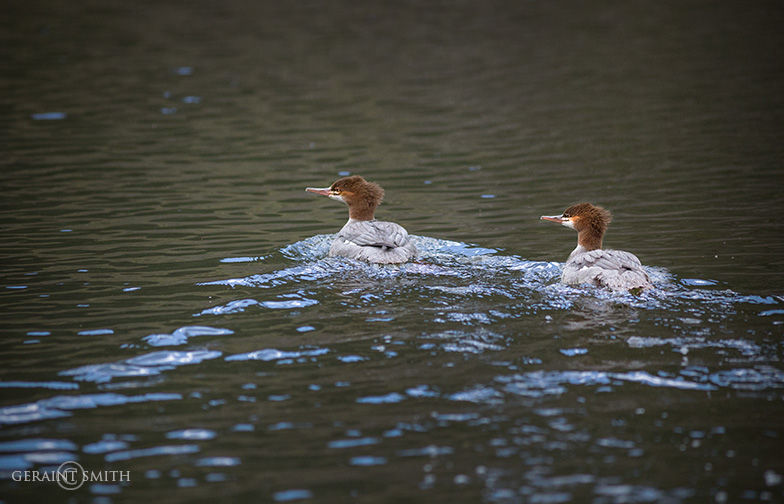 Mergansers In The Valle Vidal