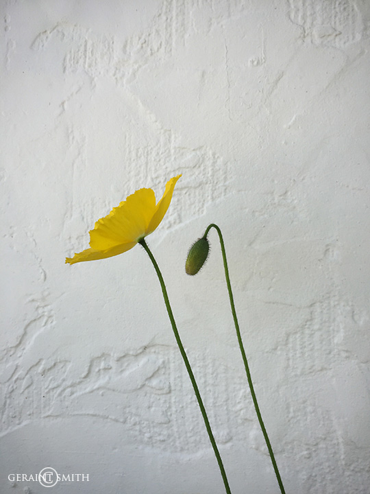 Yellow Poppy Pod