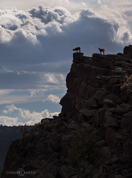 Bighorn Sheep Rio Grande Gorge