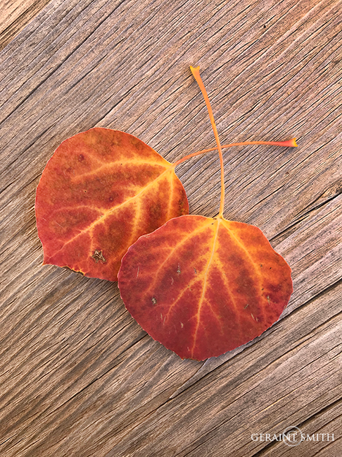 Red Aspen Leaves