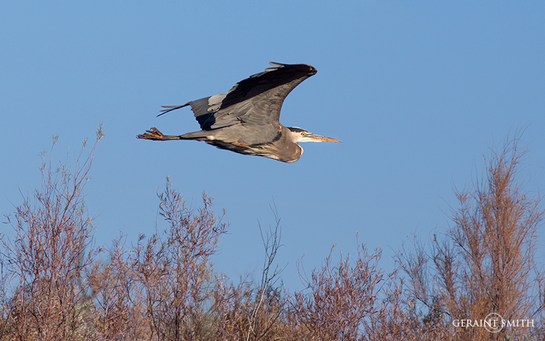 Great Blue Heron In Flight Bosque del Apache