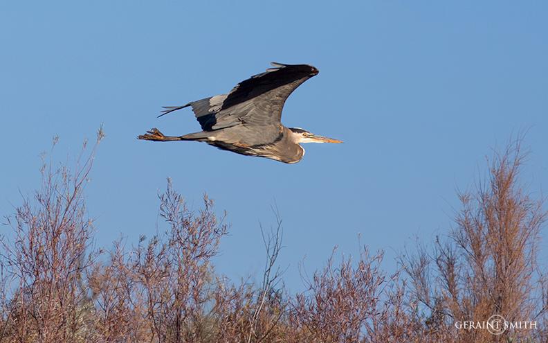 Great Blue Heron In Flight Bosque del Apache
