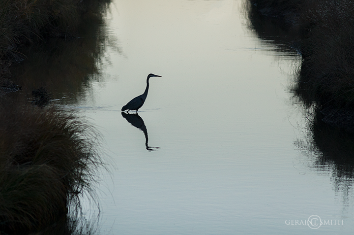 Great Blue Heron silhouette, Bosque del Apache