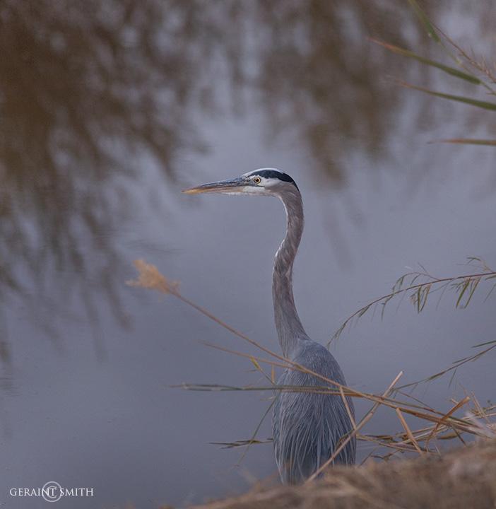 Great Blue Heron, Bosque del Apache fishing