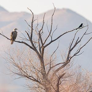 Juvenile Bald Eagle And Grackle