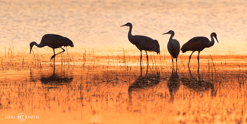 Sandhill cranes sunset in the marshes