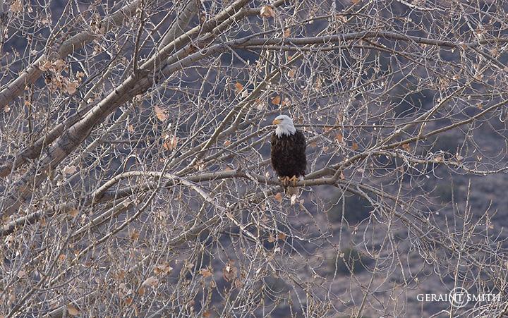 Bald Eagle, Rio Grande, Cottonwood Tree
