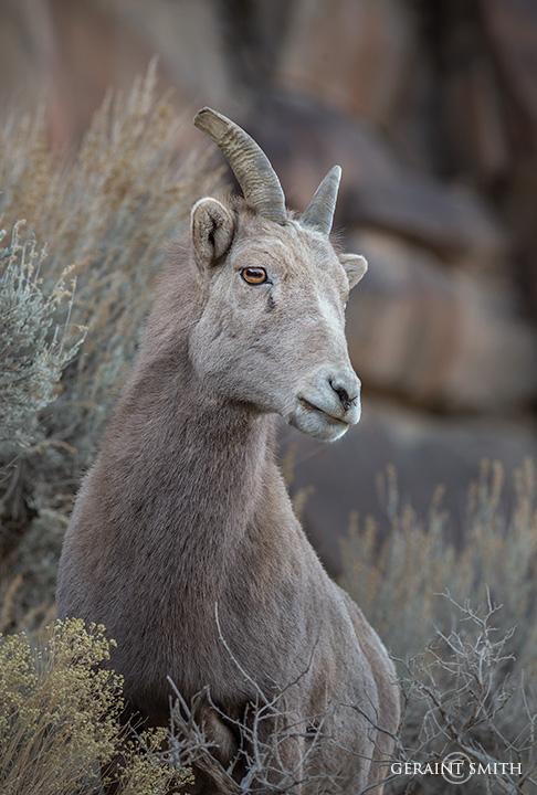 Young Bighorn sheep, Rio Grande Gorge