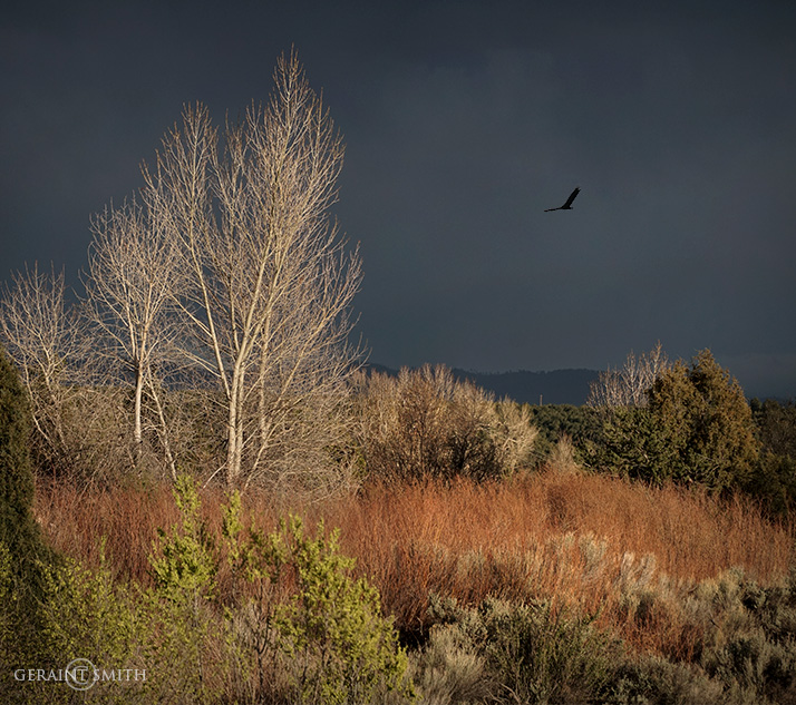 Cottonwoods, Red Willows And A Vulture