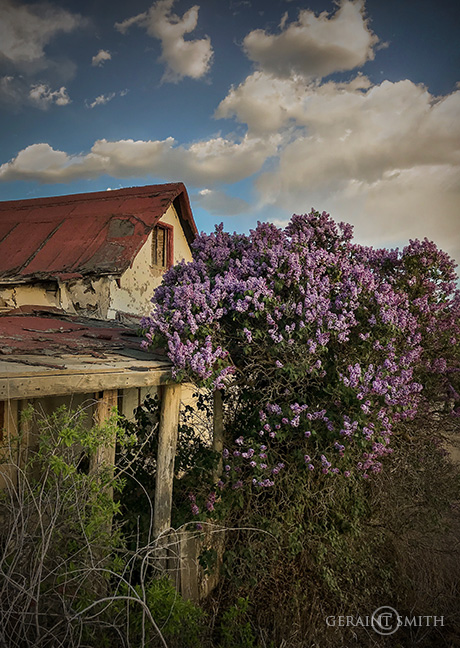 Abandoned Ruin Alive With Lilacs