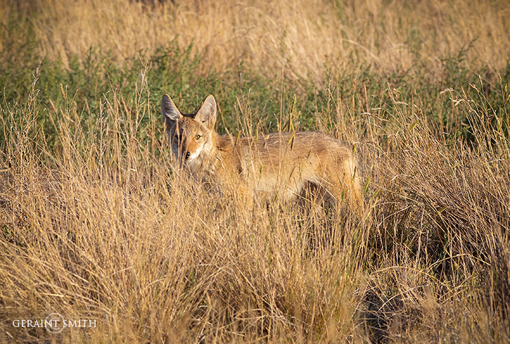 Evening Coyote In The Long Grasses